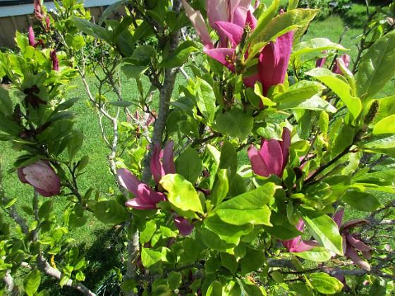 Magnolia                                 2021-06-03 Magnolia_0051 Granudden Färjestaden Öland
