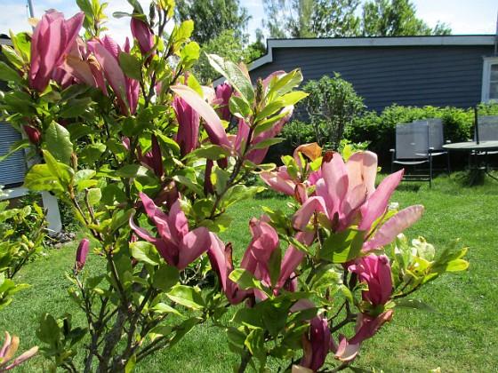 Magnolia                                 2021-06-03 Magnolia_0052 Granudden Färjestaden Öland