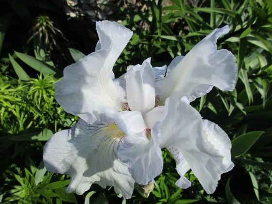 Iris {  }