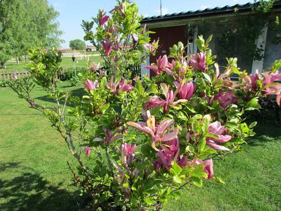 Magnolia                                 2021-06-04 Magnolia_0026 Granudden Färjestaden Öland