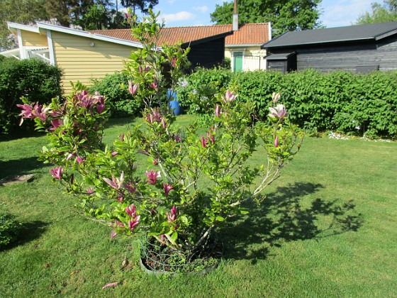 Magnolia                                 2021-06-04 Magnolia_0032 Granudden Färjestaden Öland