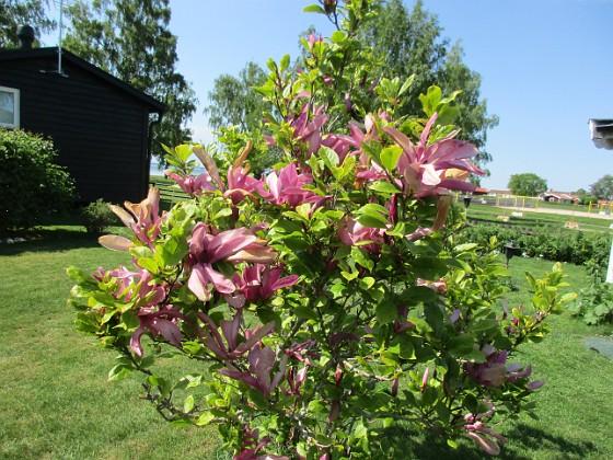 Magnolia                                 2021-06-04 Magnolia_0060 Granudden Färjestaden Öland
