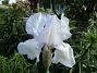 Iris                                 2021-06-04 Iris_0005