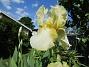 Iris                                 2021-06-04 Iris_0014