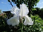 Iris                                 2021-06-04 Iris_0024