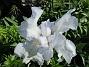 Iris                                 2021-06-04 Iris_0038