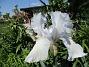 Iris                                 2021-06-04 Iris_0053