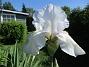 Iris                                 2021-06-04 Iris_0056