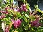 Magnolia                                 2021-06-04 Magnolia_0027