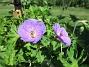 Trädgårdsnäva                                 2021-06-22 Trädgårdsnäva_0014