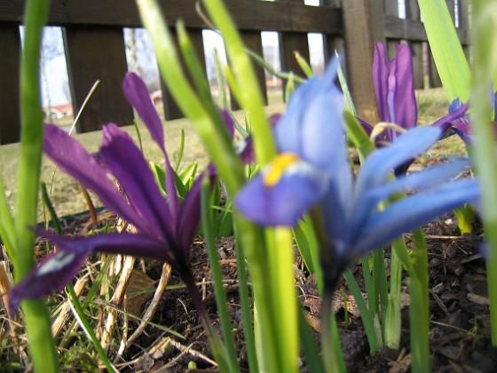 Iris &nbsp 2006 2006-04-12 Bild 045 Granudden Färjestaden Öland
