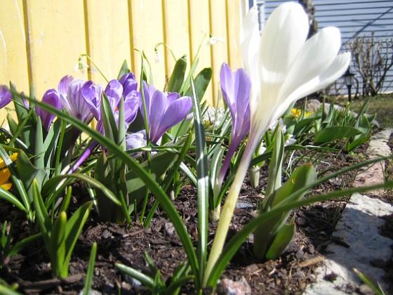 Krokus  2006 2006-04-15 Bild 009 Granudden Färjestaden Öland