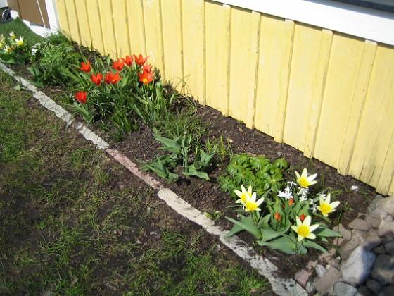 Tulpaner &nbsp 2006 2006-04-23 Bild 010 Granudden Färjestaden Öland