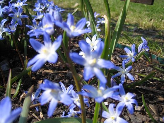 Vårstjärna &nbsp 2006 2006-04-23 Bild 030 Granudden Färjestaden Öland