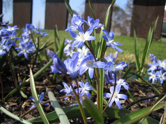 Vårstjärna &nbsp 2006 2006-04-23 Bild 031 Granudden Färjestaden Öland