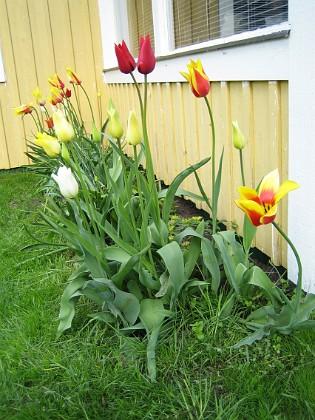 Liljeblommiga tulpaner &nbsp 2006 2006-05-25 Bild 010 Granudden Färjestaden Öland