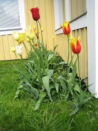 Liljeblommiga tulpaner &nbsp 2006 2006-05-28 Bild 002 Granudden Färjestaden Öland