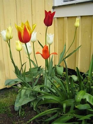 Liljeblommiga tulpaner &nbsp 2006 2006-05-28 Bild 004 Granudden Färjestaden Öland