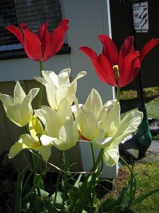 Liljeblommiga tulpaner &nbsp 2006 2006-06-11 Bild 019 Granudden Färjestaden Öland
