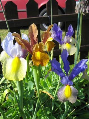 Iris  2006 2006-07-18 Bild 003 Granudden Färjestaden Öland