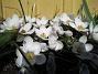 Krokus  2006 2006-04-15 Bild 007
