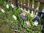 Hyacinter  2006 2006-05-11 Bild 006
