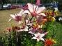 Liljor  2006 2006-06-16 Bild 004