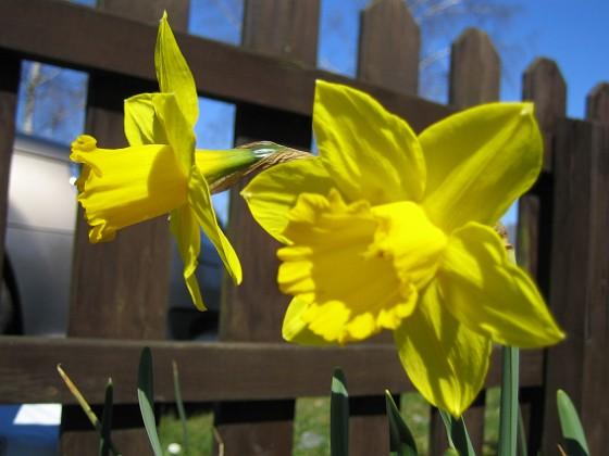 Påskliljor Påskliljor&nbsp 2007 2007-04-14 Bild 030 Granudden Färjestaden Öland