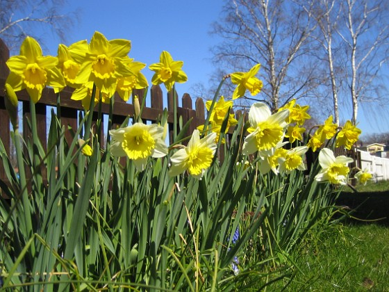 Påskliljor &nbsp 2007 2007-04-14 Bild 036 Granudden Färjestaden Öland