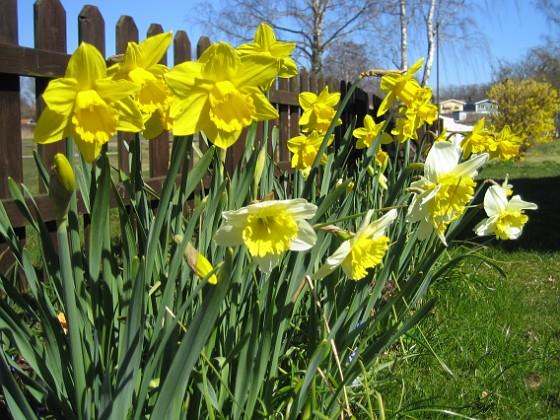 Påskliljor &nbsp 2007 2007-04-14 Bild 039 Granudden Färjestaden Öland