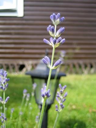 Lavendel &nbsp 2007 2007-06-10 Bild 032 Granudden Färjestaden Öland