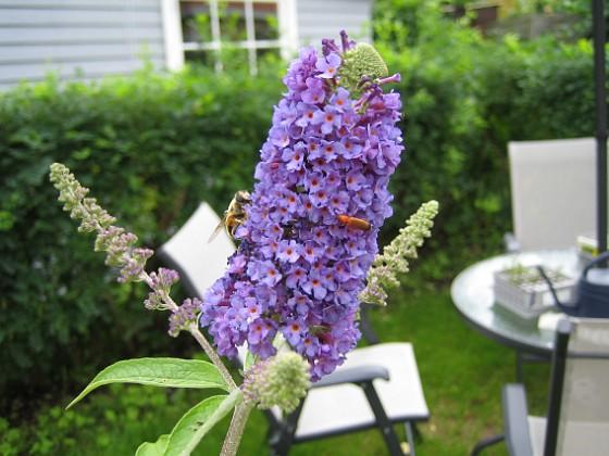 Fjärilsbuske Buddleia Davidii &nbsp 2007 2007-07-09 Bild 048 Granudden Färjestaden Öland