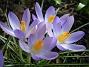Krokus  2007 2007-03-11 Bild 005