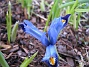 Iris  2007 2007-03-11 Bild 012
