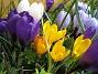 Krokus  2007 2007-03-17 Bild 012