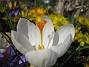 Krokus  2007 2007-03-24 Bild 016