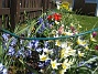 Vildtulpaner Vildtulpaner vid staketet med Vårstjärna i bakgrunden. 2007 2007-04-14 Bild 012