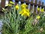 Påskliljor  2007 2007-04-14 Bild 026