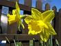 Påskliljor Påskliljor 2007 2007-04-14 Bild 030