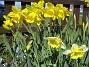 Påskliljor  2007 2007-04-14 Bild 035