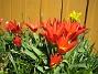 Tulpaner  2007 2007-04-14 Bild 049