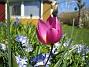 Vildtulpaner och Vårstjärna  2007 2007-04-14 Bild 057