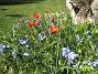 Vildtulpaner och Vårstjärna  2007 2007-04-14 Bild 063