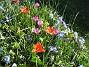 Vildtulpaner och Vårstjärna  2007 2007-04-14 Bild 070