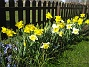 Påskliljor  2007 2007-04-14 Bild 075