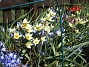 Vildtulpaner och Vårstjärna  2007 2007-04-14 bild