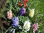 Hyacinter  2007 2007-04-21 Bild 009
