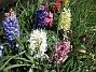 Hyacinter  2007 2007-04-21 Bild 010
