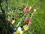 Vildtulpaner  2007 2007-05-01 Bild 036