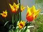 Liljeblommiga Tulpaner  2007 2007-05-05 Bild 004